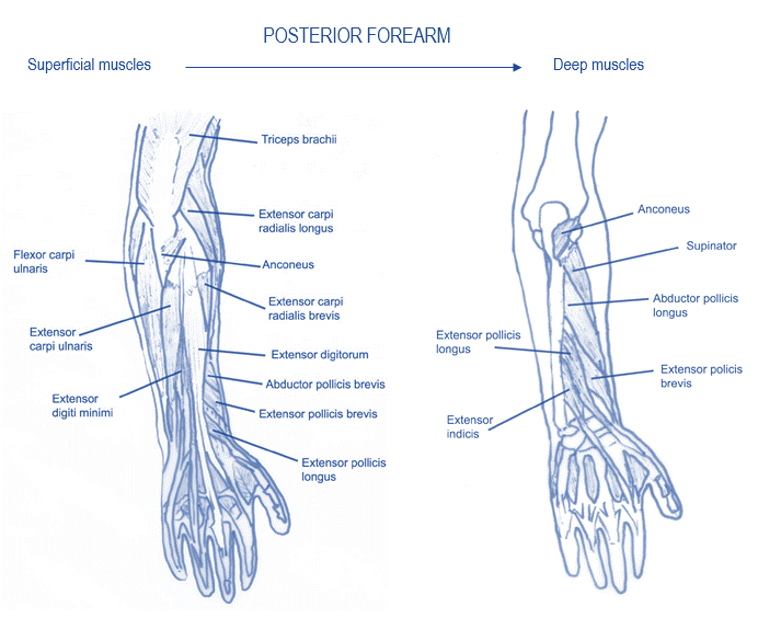 Muscles of the Elbow - Musculoskeletal Portfolio