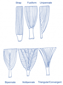 muscle shapes