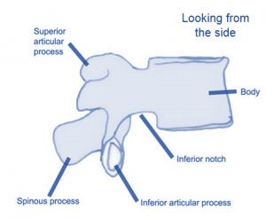 vertebra side