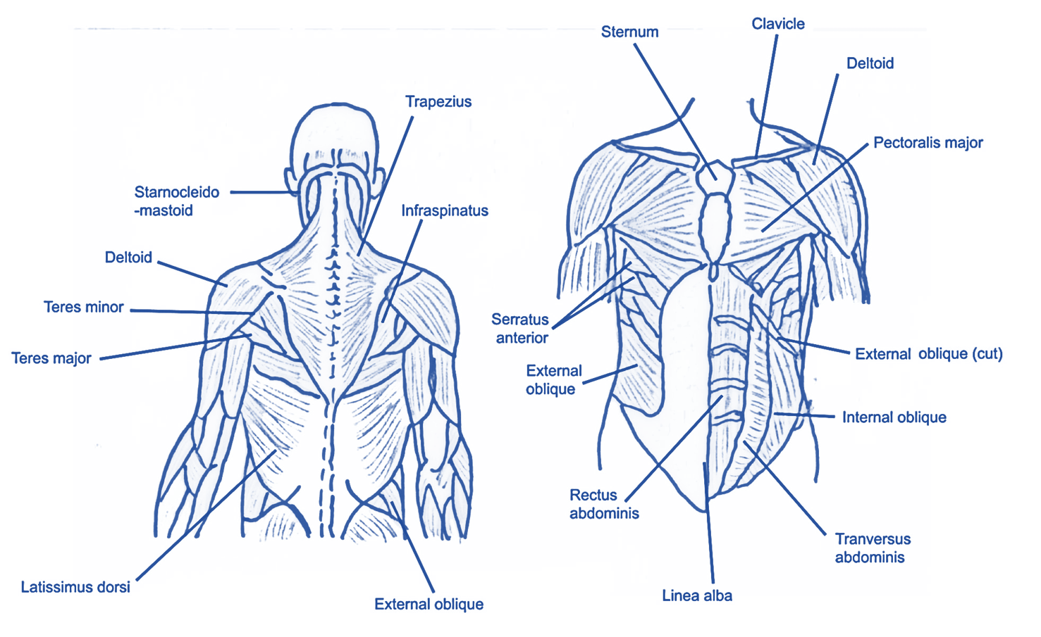 spine and ab muscles 2