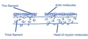 sliding filament theory 1