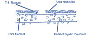 actin and myosin