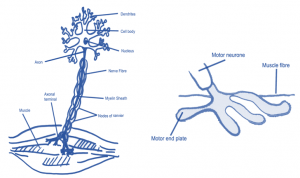 motor nerves and units