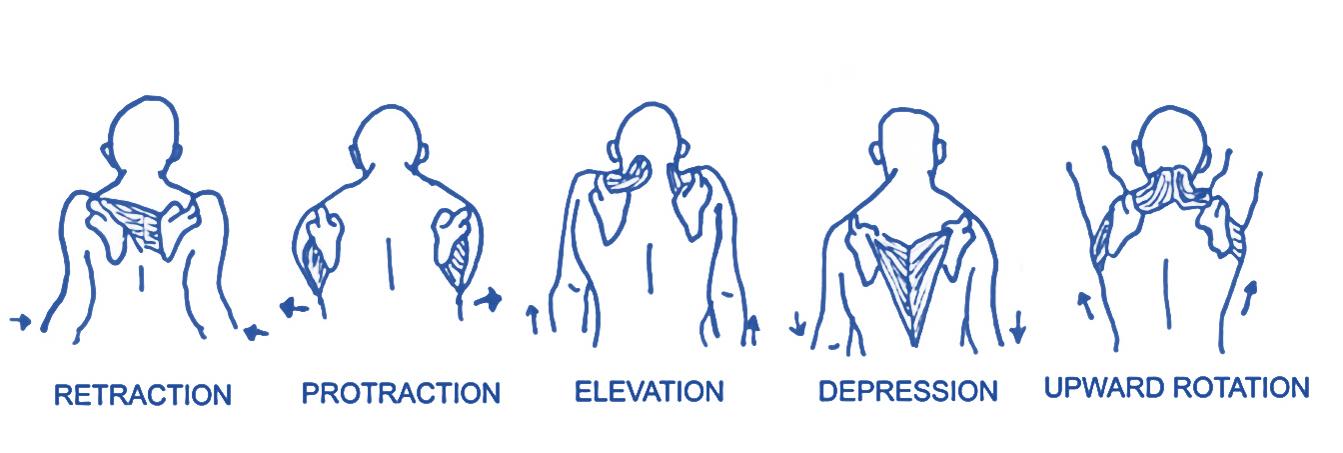 shoulder girdle movement