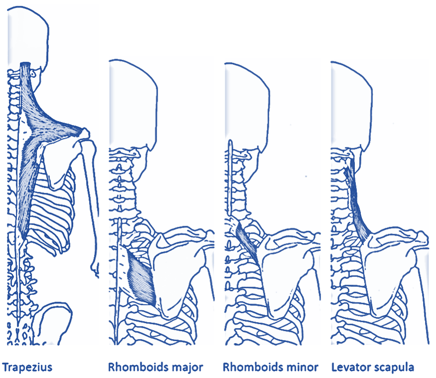 upper back muscles 1